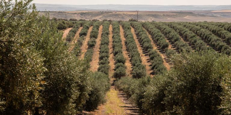 El Carpio de Tajo (Toledo), Spain. 9th June, 2021. In the Finca La Ventilla, of 4,000 hectares, of which more than 680 are olive groves (300,000 specimens), the exploitation of extra virgin olive oil Casas de Hualdo is located. The company, which began marketing its first oils in 2010, has managed in just a decade to place its olive oils among the best in Spain, and receive numerous international awards.  In the image, one of the olive groves that makes up Finca La Ventilla, and from which the olives with which Casas de Hualdo produces its olive oil are obtained.