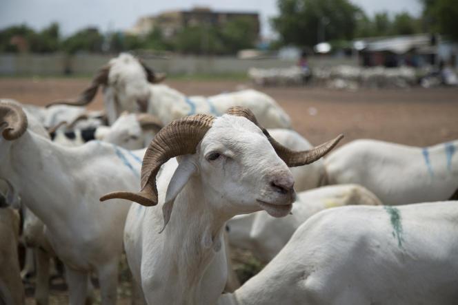 Des moutons en vente au marché de Lafiabougou, à Bamako, le 13 juillet 2021.