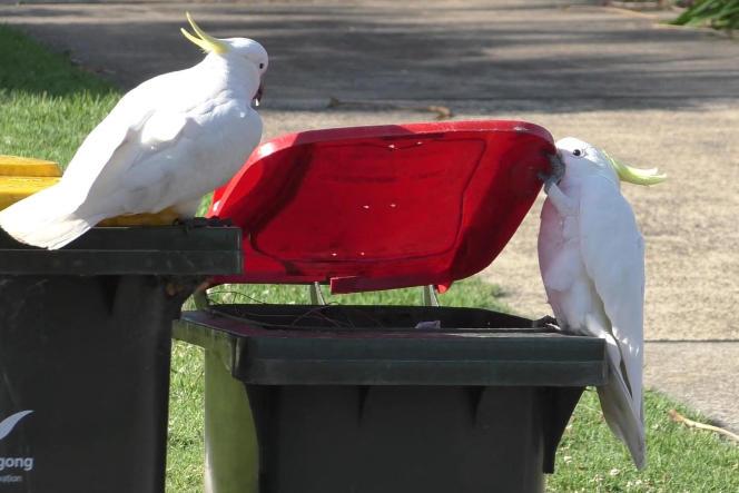 Un cacatoès à huppe jaune ouvre le couvercle d'une poubelle domestique, à Sydney, en Australie, le 20 juillet 2021.