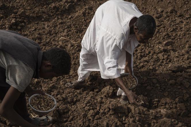 Des agriculteurs de la Gezira commencent à planter avant le début de la saison des pluies, près d'El Kamilin, dans l'Etat de Gezira, au Soudan, le 17 juin 2021.