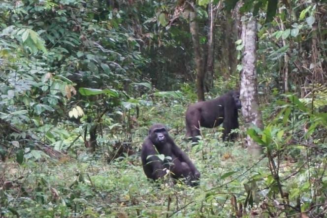 Deux gorilles dansle parc national de Campo-Ma'an, au sud du Cameroun.