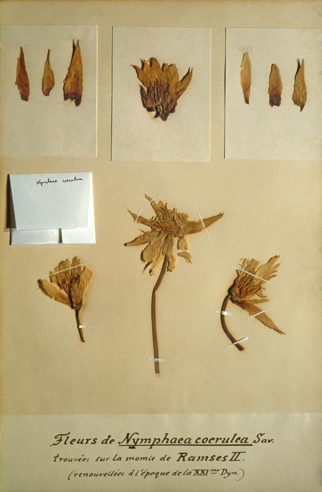 Guirlande de Ramsès II. Nymphaea caerulaSav.Deir el-Bahari, Vallée des rois (Egypte), 1224 av. J.-C.; 1883 (herbier).