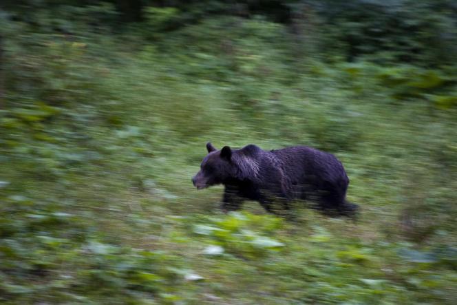 Ours brun courant dans la forêt des Carpates, en Roumanie.