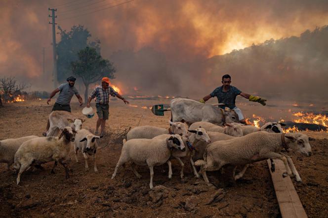 Des hommes rassemblent des moutons pour les éloigner d'un incendie qui progresse, le 2 août 2021, à Mugla, en Turquie.