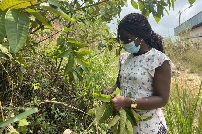 Agnès Antoinette Ntoumba cueille des feuilles pour préparer un larvicide contre les moustiques, à Douala, le 19juillet 2021.