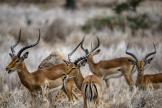 Des impalas dans la réserve de Lewa, au Kenya, le 17juillet 2021.