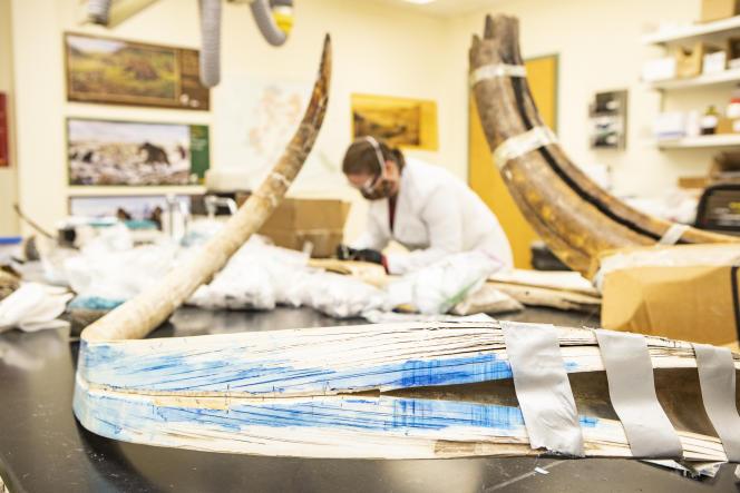 Karen Spaleta, wakil direktur Alaska Stable Isotop Facility, sebuah laboratorium di University of Alaska Fairbanks, menganalisis gigi taring raksasa.