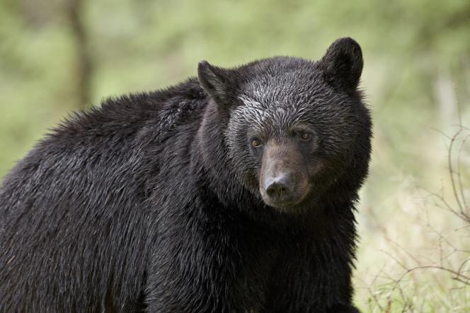 Si l'ours noir était pourvu d'un appendice, il ne vivrait peut-être pas 34 ans au maximum, mais jusqu'à 60 ans, comme le gorille.