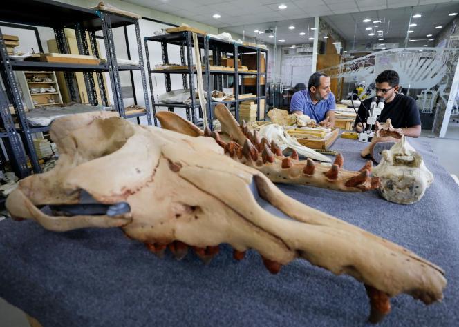 Esta nova baleia tem mais de três metros de comprimento e pesa cerca de 600 kg