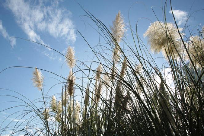 L'herbe de la Pampa, comme toutes les plantes exotiques invasives, est à éviter au profit des plantes locales.
