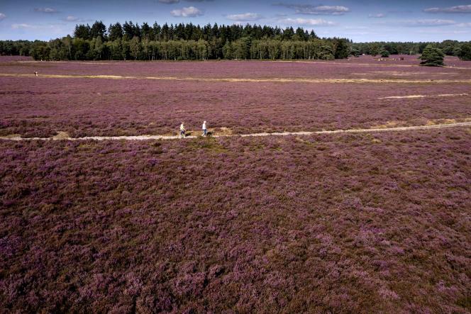 Des personnes marchant sur un chemin dans une lande en fleurs dans la réserve naturelle de Veluwe, près d'Apeldoorn, en août 2021.