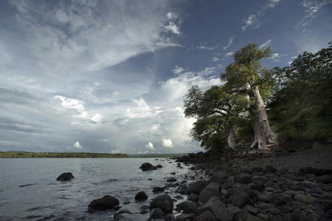 Un baobab de l'espèce Adansonia madagascariensis à Cap Diego, dans le nord de Madagascar.