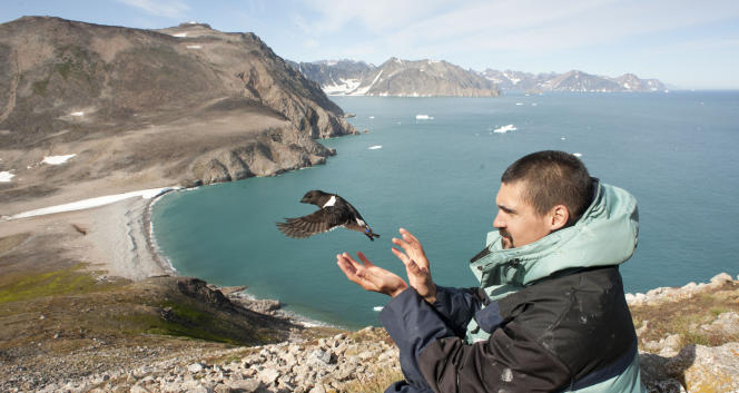 Envol d'un Mergule nain équipé d'un système GLS à l'est du Groenland.