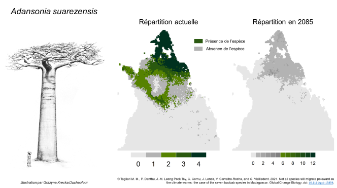 L'espèce Adansonia suarezensis pourrait totalement disparaître de son aire de distribution d'ici à la fin du siècle.