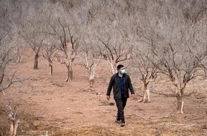 Un agriculteur marche au milieu de ses orangers desséchés par le manque d'eau, à Agadir (Maroc), enoctobre 2020.