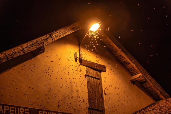 Pyrale du buis (Cydalima perspectalis) attirés par la lumière, Jura, été 2016.