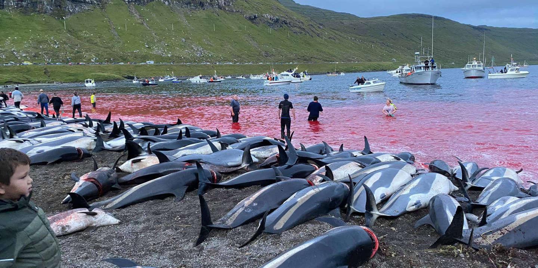 Dans les îles Féroé, la chasse au dauphin à flancs blancs remise en cause après un abattage record