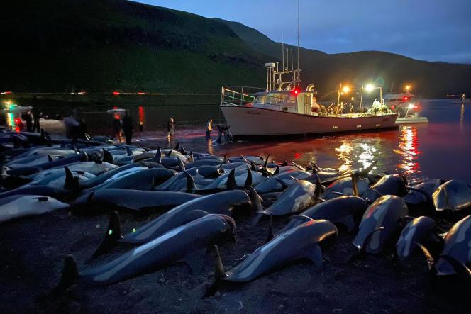 Les carcasses de dauphins à flancs blancs, sur l'île d'Eysturoy (îles Féroé), le 12 septembre 2021.