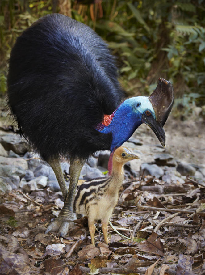 Casoar à casque, à Kuranda, dans l'Etat du Queensland, en Australie.