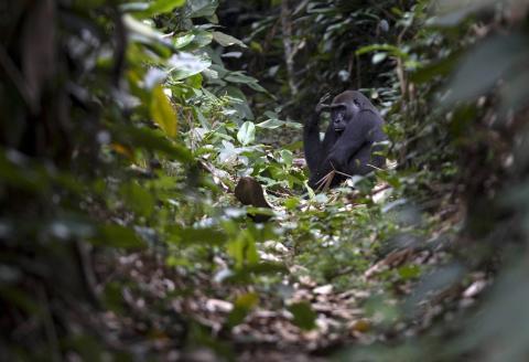 Western lowland gorilla. Odzala-Kokoua National Park, Republic of the Congo.