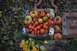 Maria et Julie ont ramassé les dernières tomates de la saison. A Fontenay-sous-Bois, le 4 octobre 2021.