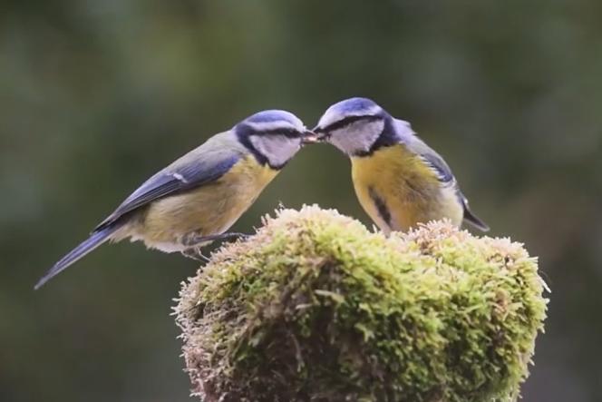 Les mésanges sont une des espèces étudiées par les biologistes travaillant sur le stress des oiseaux des villes.