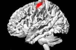 Localisation d'une zone du cerveau présentant une baisse d'activitéen lien avec le confinement.