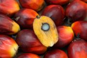 Graines de palmier à huile.