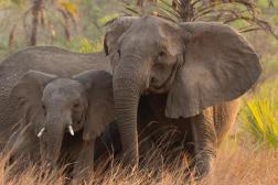 Un éléphant d'Afrique femelle sans défense à Gorongosa, au Mozambique, en juin 2018.