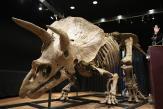 Le squelette de «Big John», plus grand tricératops connu, vendu 6,6millions d'euros, un record