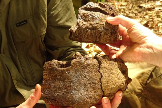 Des restes de l'eremotherium recollés à Maripasoula (Guyane), en octobre 2021.