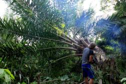 Des palmiers à huile plantés illégalement et au détriment de la flore locale, dans la province d'Aceh (Sumatra),en novembre 2018.