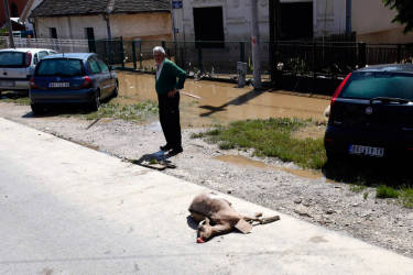 A man stands next to a dead goat in the flooded town of Obrenovac, May 18, 2014. Soldiers, police and villagers battled to protect power plants in Serbia from rising flood waters on Sunday as the death toll from the Balkan region's worst rainfall in more than a century reached 37. Twelve bodies were recovered from the worst-hit Serbian town of Obrenovac, but the number was likely to rise as waters receded.  REUTERS/Antonio Bronic (SERBIA  - Tags: DISASTER ENVIRONMENT)