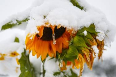 An icicle forms on a sunflower as snow continues to fall in Cremona, Alberta, Canada, Tuesday, Sept. 9, 2014. Environment Canada issued a snowfall warning for Calgary, and much of the rest of Southwestern Alberta. (AP Photo/The Canadian Press, /Jeff McIntosh_