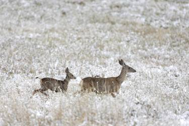 Deer forage after the season's first snow fell over Boulder, Colo., Friday, Sept. 12, 2014. Boulder saw less than an inch of snow overnight, about a month earlier than the average first snow on the front range of the Colorado Rockies, according to the National Weather Service. (Brennan Linsley)